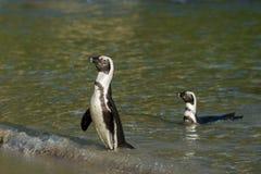 Dwa Afrykańskiego pingwinu na plaży Obrazy Royalty Free