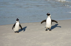 Dwa Afrykańskiego pingwinu na plaży Zdjęcie Stock