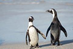 Dwa Afrykańskiego pingwinu na plaży Zdjęcia Royalty Free