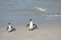 Dwa Afrykańskiego pingwinu na plaży Obraz Stock