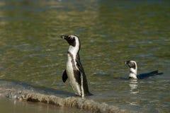 Dwa Afrykańskiego pingwinu na plaży Obrazy Stock