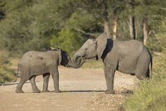 Dwa Afrykańskiego słonia Południowa Afryka (Loxodonta africana) Obrazy Stock