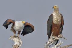 Dwa Afrykański Rybi Eagles Fotografia Stock