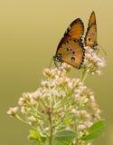 Dwa Afrykańskiego Monarchicznego motyla, Tanzania Zdjęcia Stock