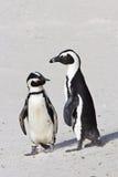 Dwa Afrykańskiego pingwinu zdjęcia stock