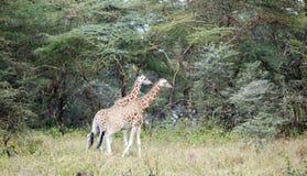 Dwa afrykanina żyrafa w łąkach sawanna Obrazy Stock