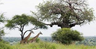 Dwa afrykanina żyrafa w łąkach sawanna Zdjęcie Stock