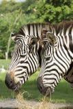 Dwa afrykanina zebry łasowania trawa Obrazy Stock