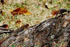 Dwa agama jaszczurki na drzewie Zdjęcie Stock