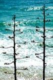 Dwa agawy przed błękitnym morzem Zdjęcie Royalty Free