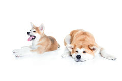 Dwa Akita w białym studiu Fotografia Stock