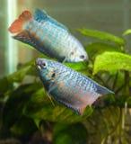 Dwa akwariów rybi dopłynięcie okrąża wokoło each innych zamazanych półdupki Fotografia Stock