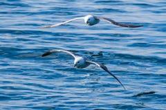 Dwa albatrosów latająca depresja, jeden wlec jego skrzydło przez grzebienia o Zdjęcie Royalty Free