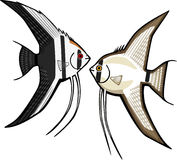 dwa angelfish Obraz Royalty Free