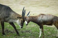 Dwa antylop walczyć Zdjęcia Stock