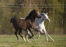 Dwa arabians biegającego na zmierzch łące fotografia stock