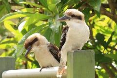 Dwa Australijskich kookaburras zamkniętego up Obrazy Royalty Free