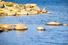 Dwa Australijskiej drewnianej kaczki pływa blisko Jeziornego Jindabyne foreshore zdjęcia royalty free