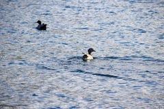 Dwa Australijskiej drewnianej kaczki pływa w Jeziornym Jindabyne obraz stock