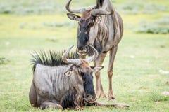 Dwa Błękitnego wildebeests w trawie Obraz Stock