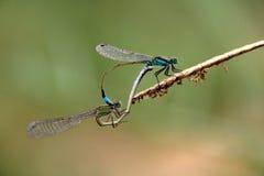Dwa błękitnej zieleni dragonflies matować zdjęcia stock
