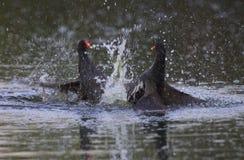 Dwa błoń Moorhen walka na wodzie fotografia royalty free