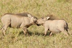 Dwa bawić się warthogs w suchej trawie Zdjęcia Royalty Free