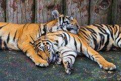 Dwa Bengal tygrysów spać obraz stock