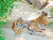 Dwa Bengalia królewski tygrys przy zoo Los Angeles Zdjęcia Royalty Free
