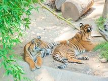 Dwa Bengalia królewski tygrys przy zoo Los Angeles Zdjęcie Royalty Free