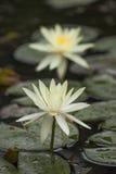 Dwa biała wodna leluja z kolorem żółtym na zielonym tła vertical zdjęcie stock