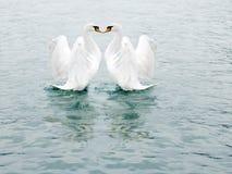 dwa białe dobrze łabędzia. zdjęcia stock