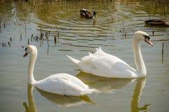 Dwa białego łabędź pływa w stawie Obrazy Royalty Free