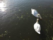 Dwa białego łabędź w stawie Fotografia Royalty Free