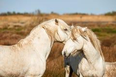 Dwa białego konia Camargue Zdjęcie Royalty Free