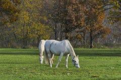 Dwa białego konia pasa trawy jesieni natury tło Zdjęcia Stock