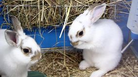 Dwa białego królika zbiory wideo