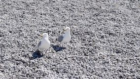 Dwa białego seagulls siedzi na kamień plaży akcja Piękni seagulls odpoczywa na plaży z białymi otoczakami Nadmorski ptaki zbiory