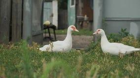 Dwa białej dużej kaczki z czerwonymi oczami stoi na trawie i patrzeje each inny zbiory wideo