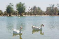 Dwa białej gąski pływa w jeziorze przy gospodarstwem rolnym Zdjęcia Stock