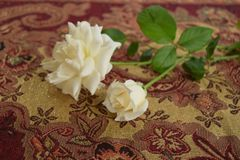 Dwa białej róży na Burgundy tablecloth fotografia royalty free