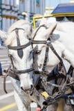 Dwa białych koni piękny stać Obrazy Stock