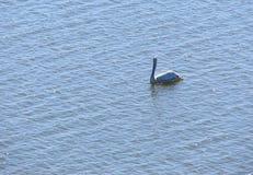 Dwa Białych pelikanów Wielki Pelecanus Onocrotalus unosi się na wody powierzchni Zdjęcie Royalty Free