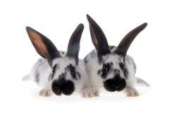 dwa białe czarne królików Obrazy Stock