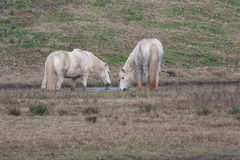 Dwa białego camargue konia w lagunie Fotografia Stock