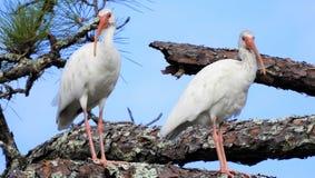 Dwa Białego ibisa W drzewie Obraz Stock