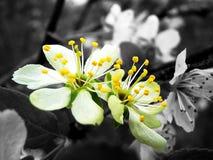 Dwa białego kwiatu na szarym tle obrazy royalty free