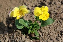 Dwa bicolor Dziki pansy lub altówka tricolor mali dzicy kwiaty z zmrokiem i żółtymi płatkami otaczającymi z ciemnozielonymi liśćm fotografia royalty free