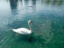 Dwa biel łabędź przy jeziorem fotografia royalty free