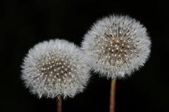 Dwa biel dandelion na czarnym tle Fotografia Stock